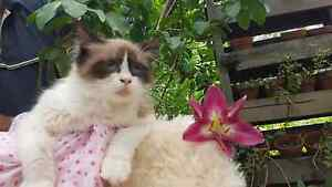Purebred chocolate ragdoll female Clarence Town Dungog Area Preview