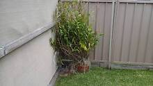 Crucifix Orchid Cardiff South Lake Macquarie Area Preview