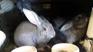 Flemish giants rabbits for sale for $35 Haberfield Ashfield Area Preview