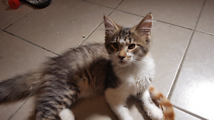 Free kittens to good home Busby Liverpool Area Preview