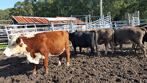 Cows for sale Cooranbong Lake Macquarie Area Preview