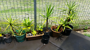 Agaves & yuccas Charlestown Lake Macquarie Area Preview