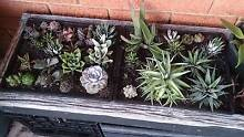 Succulents in mixed tray $50 each Ryde Ryde Area Preview