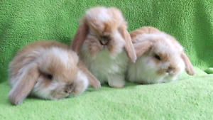 ❤VACCINATED QUALITY PUREBRED MINI LOPS BABY'S Londonderry Penrith Area Preview