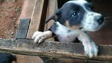 Collie/Kelpie Cross Puppies Cassowary Coast Preview