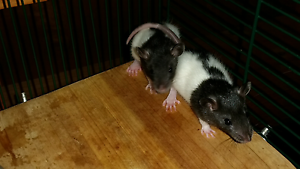 Baby rats - black and white, blazed or hooded Rockdale Rockdale Area Preview