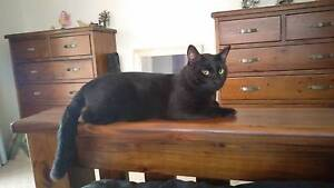 Friendly Family Rescue Cat Available for Adoption Buccan Logan Area Preview