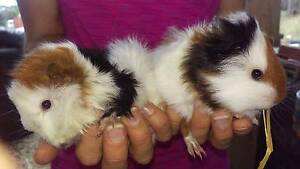 ❤❤❤ BABY GUINEA PIGS QUALIY CARE HUTCH START UP PACKAGE DEALS Londonderry Penrith Area Preview