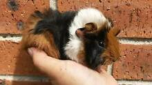 Very cute Baby guinea pigs for sale Gordon Ku-ring-gai Area Preview