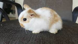 Mini Lop Rabbits Hoxton Park Liverpool Area Preview