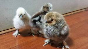 4 X Pure Breed Silkie chicks available NOW!!! North Parramatta Parramatta Area Preview