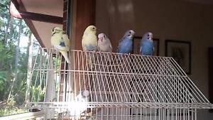 BABY BUDGIES FOR SALE, STUNNING PIEDS (ONLY 2 MALES LEFT) Shailer Park Logan Area Preview