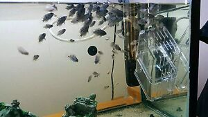 Baby Convict cichlids fish St Clair Penrith Area Preview