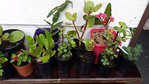 Plant Sale! SUCCULENTS+FAIRY GARDENS+Cheap potted plant variety Seaford Frankston Area Preview