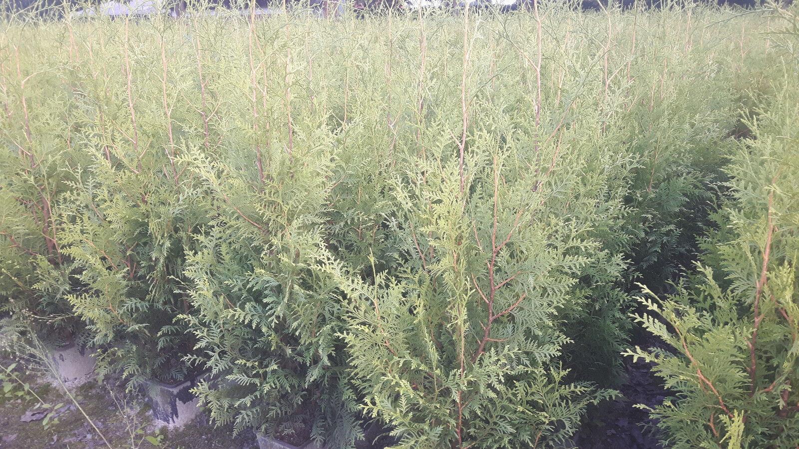 10 Thuja occidentalis Brabant 80 -100 cm Lebensbaum Hecke immergrün Zypresse TOP