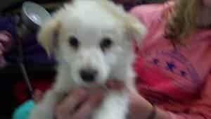Border Collie Puppies for sale (pure bred) Loganlea Logan Area Preview
