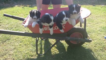 Pure bred Border Collie pups.