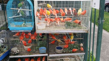 Yorkshire Canaries For Sale Canaries For Sale Club Rung