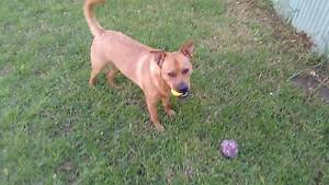 staffy cross puppies for sale Glandore Marion Area Preview