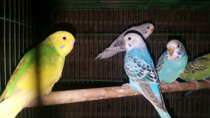 Adult and baby budgies