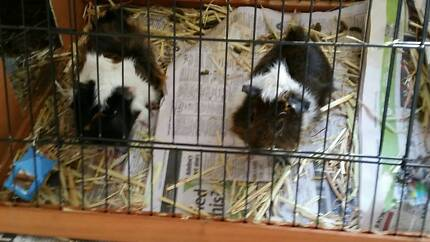 Two cute 9 month old male guinea pigs needing a new home Doreen Nillumbik Area Preview