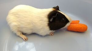 Guinea Pig (Male, about 2 years old) Bonner Gungahlin Area Preview