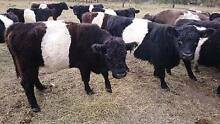 Mini belted black Galloway cows & heifers Nanango South Burnett Area Preview