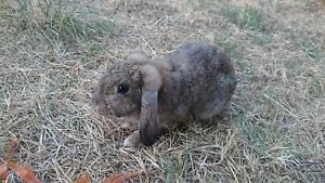Found: Female rabbit, West Leederville West Leederville Cambridge Area Preview