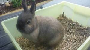 Netherland Dwarf Rabbit, Buck (Male) Plus accessories. Adelaide CBD Adelaide City Preview