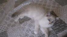 FOR SALE	- Playful Ragdoll Kitten 1 left Dandenong North Greater Dandenong Preview