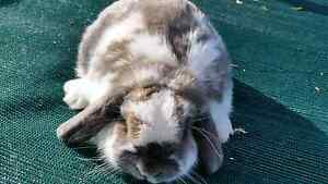 ABSOLUTELY GORGEOURS 3 PURE MINI LOP Cranbourne Casey Area Preview