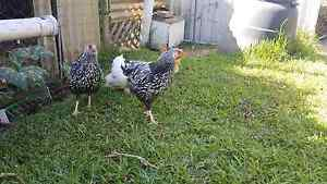 Young Roosters for sale Salamander Bay Port Stephens Area Preview
