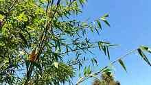 Timber Bamboo (Clumped, Not Running) Wattle Park Burnside Area Preview