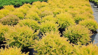 Thuja occ. Rheingold Gold Lebensbaum  gelbe Kugel 2 L immergrün Zypresse