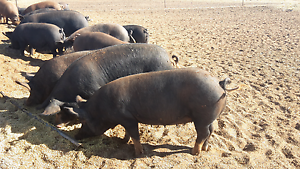 Pigs! Berkshire sows for sale Pinnaroo Southern Mallee Preview