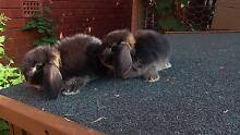 MALE BLACK OTTER BABY PURE BREED MINI LOP RABBITS FOR SALE Harris Park Parramatta Area Preview