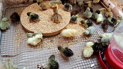 15 Fertile Hatching Rare Select Button Quail Eggs. Npip Special Pricing