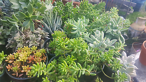 Succulents Bidwill Blacktown Area Preview