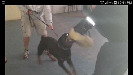 Security Trained Rottweiler, suit home protection or k9 security Brisbane City Brisbane North West Preview