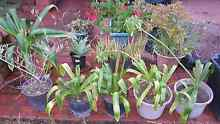 12 pots of plants including olive tree Prestons Liverpool Area Preview