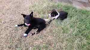 Border Collie X Kelpie working pups 4 sale Pittsworth Toowoomba Surrounds Preview