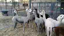 young female alpacas free delivery Lowood Somerset Area Preview