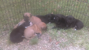 Pure Breed Staffy pups - great colours Lansvale Liverpool Area Preview