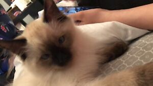 Half ragdoll/Siamese kitten need gone ASAP !!
