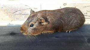 Guinea Pig brown boy 9 weeks old for sale Robina Gold Coast South Preview