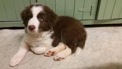 Male border Collie puppy