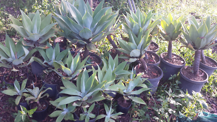 Green agaves