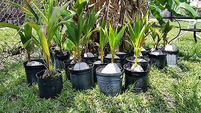 1 Coconut Palm Tree     Yellow  Exotic Palm