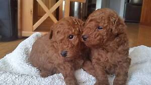 Toy Poodle Puppies - Red, Apricot and Chocolate Pure Bred Prestons Liverpool Area Preview