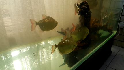 Wanted: all types of loaches, silver dollars and plecos.